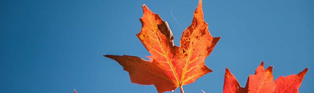 La feuille d'érable sur le drapeau canadien