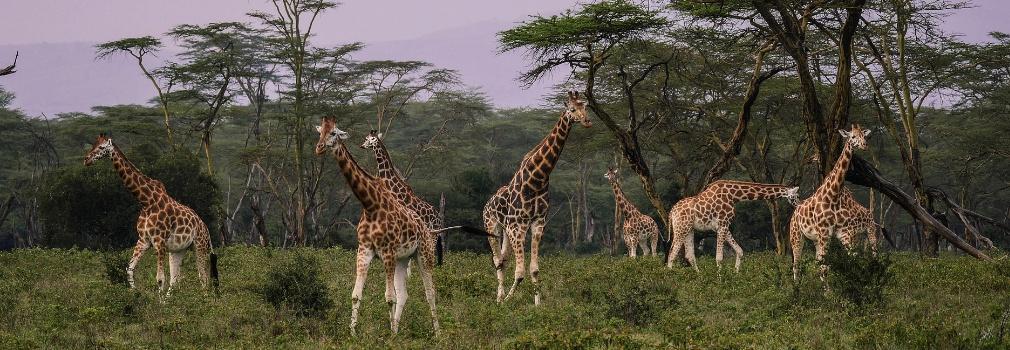 Des girafes au Kenya