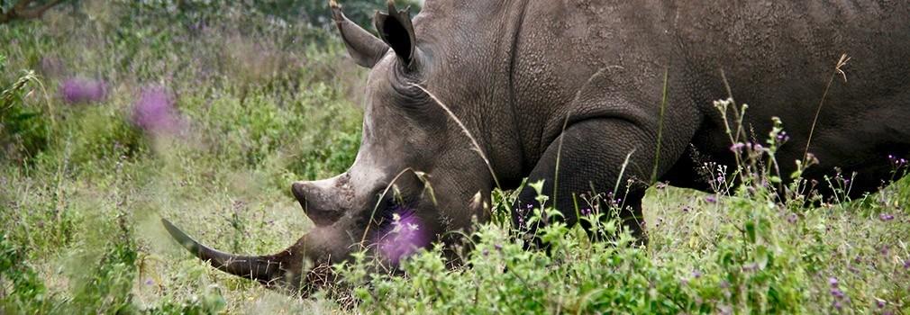 Een neushoorn in Kenia