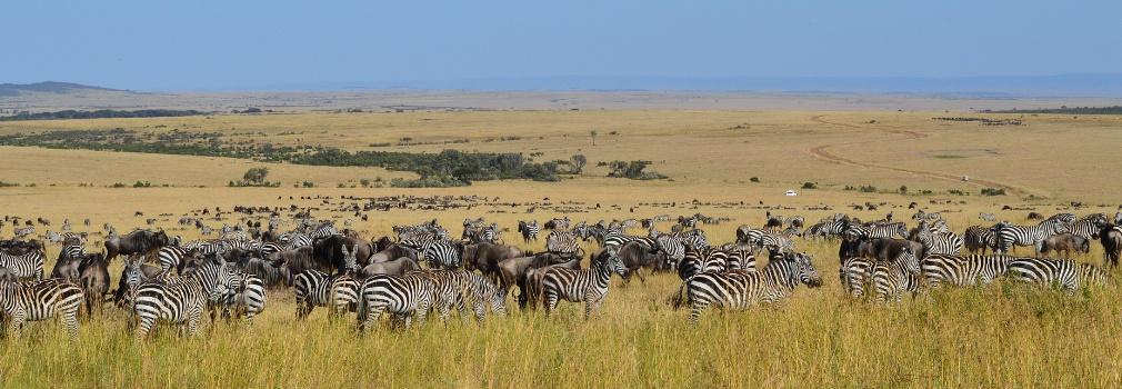 Zèbres au Kenya