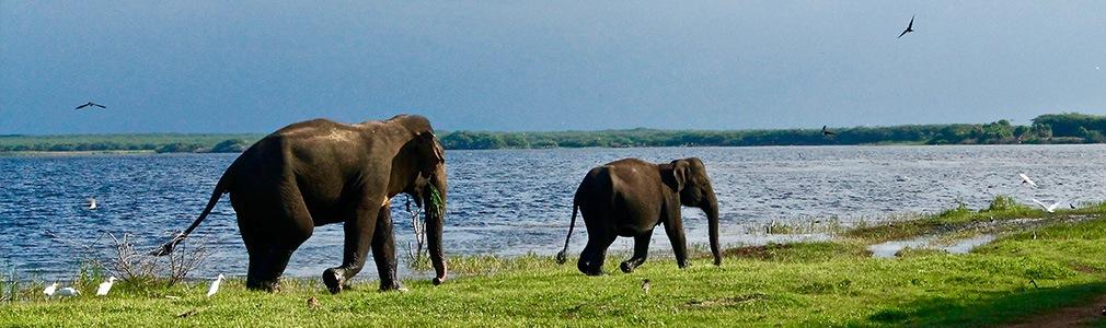 Des éléphants au Sri Lanka
